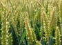 Unijna pszenica otworzyła tydzień na wyższym poziomie, ale rzepak i kukurydza straciły na wartości