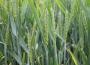 Notowania zbóż i oleistych. Niewielkie zmiany w oczekiwaniu na piątkowy raport USDA (7.12.2016)