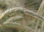 Rynek zbóż w kraju (12.02.2017)
