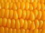 Kukurydza mocno tanieje. Średnia cena w skupie poniżej 590 zł/t