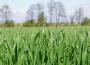 Unijna pszenica najdroższa od czterech tygodni