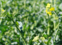 Notowania zbóż i oleistych. Nowe maksima notowań rzepaku (1.12.2016)