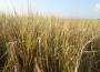 Ceny zbóż na giełdach towarowych (10.02.2019)