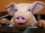 Handel wieprzowiną Unii Europejskiej z krajami trzecimi
