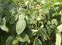 Spadki na rynku zbóż i oleistych