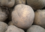 Większy obszar upraw ziemniaków, ale plonowanie mniejsze