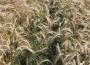 Ceny zbóż w skupie. Żyto i pszenica tanieją. Kukurydza dalej w górę