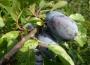 Warunki meteorologiczne w uprawie owoców
