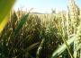 Rynek zbóż w kraju (10.05.2020)