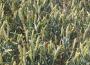 Ceny zbóż na giełdach towarowych (09.09.2018)