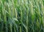 Ceny większości zbóż w Polsce wzrosły