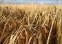 Ceny zbóż na giełdach towarowych (4.11.2018)