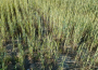 Susza rolnicza wśród zbóż i truskawek