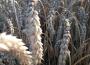 Egipt musiał zaakceptować wyższą cenę pszenicy, mimo to kupił więcej tego zboża