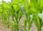 Notowania zbóż i oleistych. Kontrakty na zboża lekko w górę (25.10.2016)