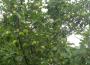 Mniejsze plonowanie większości owoców