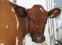 Sierpień br. był miesiącem rosnących cen wołowiny
