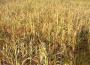 Nadal występuje szusza rolnicza