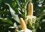 Spadek notowań kukurydzy