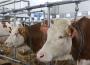 Zróżnicowanie cen skupu bydła