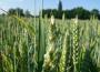 Unijna pszenica coraz droższa, a notowania kukurydzy ustabilizowały się w Paryżu