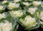 Kapusta ozdobna (Brassica oleracea)