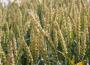 Chińskie zakupy soi w USA wsparły wzrosty na rynku zbóż i oleistych