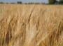Grudzień rozpoczął się wzrostami cen na rynku zbóż, choć pszenica i kukurydza potaniały