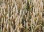 Rynek zbóż w kraju (02.12.2018)