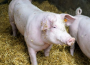 Ceny skupu świń rzeźnych (04.04.2021)