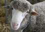 Spadek eksportu owiec