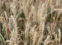 Spadły notowania giełdowe zbóż i oleistych