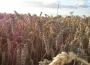 Mniejsze różnice cen pszenicy pomiędzy południową a centralną i północną częścią Polski