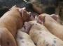 Ceny żywca wołowego, wieprzowego i drobiowego (09.09.2018)