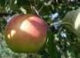 W Polsce nadal wysokie zapasy jabłek  deserowych