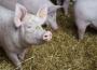 Ceny skupu świń rzeźnych (06.09.2020)