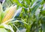 Ceny zbóż w Polsce. Wzrost cen pszenicy i kukurydzy.