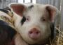 Producenci świń z terenów objętych ASF mogą ubiegać się o nieoprocentowaną pożyczkę na spłatę zobowiązań cywilnoprawnych