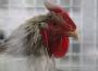 26 ognisk wysoce zjadliwej grypy ptaków (HPAI) u drobiu