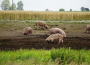Ceny mięsa wołowego, wieprzowego i drobiowego (9.04.2017)