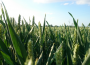 Nieznaczne przeceny unijnych zbóż