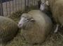 Wzrost cen jagniąt
