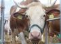 Ceny żywca wołowego, wieprzowego i drobiowego (30.06.2019)