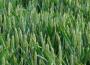 Ceny zbóż w kraju (10.05.2020)