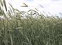 Ceny zbóż na giełdach towarowych (04.07.2021)