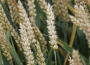 Spadek na giełdowym rynku zbóż