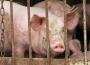 Ceny żywca wołowego, wieprzowego i drobiowego (10.06.2018)