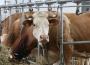 Wzrost skupu bydła