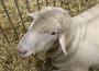 Ceny owiec rzeźnych