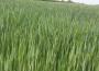 Ceny zbóż na giełdach towarowych (06.06.2021)